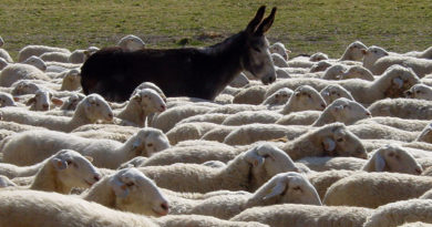 stádo, ovce