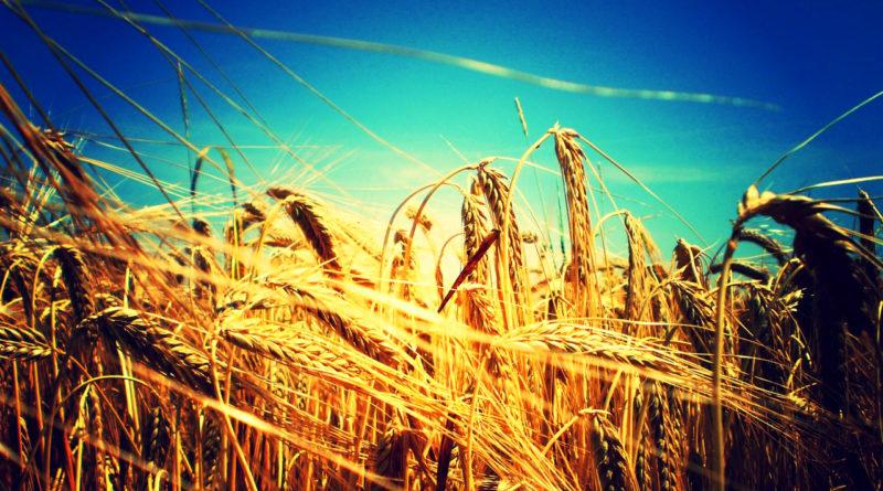 pole obilí zrno